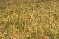 Poppies And Corn Royalty Free Stock Image