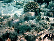 Free Common Porcupinefish Stock Photography - 4398812