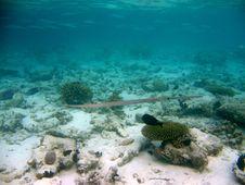 Free Cornetfish Royalty Free Stock Photos - 4398818