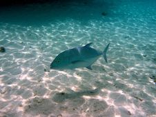 Free Fish : Bluefin Trevally Royalty Free Stock Photos - 4398828