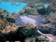 Free Fish : Taeniura Melanospilos Stock Photos - 4398833