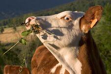 Free Portrait Of Cow Stock Photo - 4399220