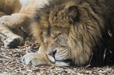 Free Lion Royalty Free Stock Photos - 4399428