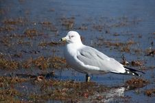 Free Seagull Standing On A Rivers Edge Royalty Free Stock Photography - 4399467