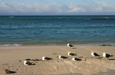 Free Seagulls Stock Images - 4399604