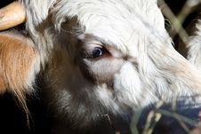 Free Cow Stock Photos - 4399693