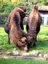 Free Camels Stock Image - 447471