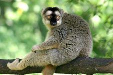 Free Lemur Stock Photography - 441352