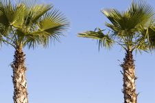 Free Centurian Palm Trees Royalty Free Stock Photos - 442138