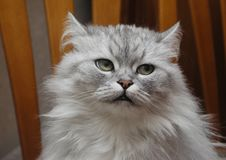 Free Persian Chinchilla Cat Stock Images - 443554