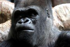 Free Male Gorilla Royalty Free Stock Photos - 444468