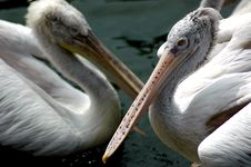 Free Two Pelicans Royalty Free Stock Image - 445376