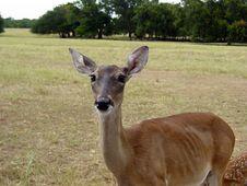 Free Deer Mama Royalty Free Stock Image - 445406