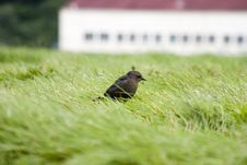 Free Bird In The Grass Royalty Free Stock Photo - 446445