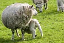 Free Sheep Stock Photos - 447313