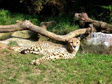 Free Cheetah Stock Photos - 447443