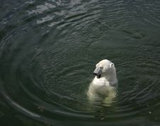 Free Polarbear On Water Royalty Free Stock Photography - 447737