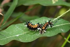 Free Caterpillars Stock Photo - 448570