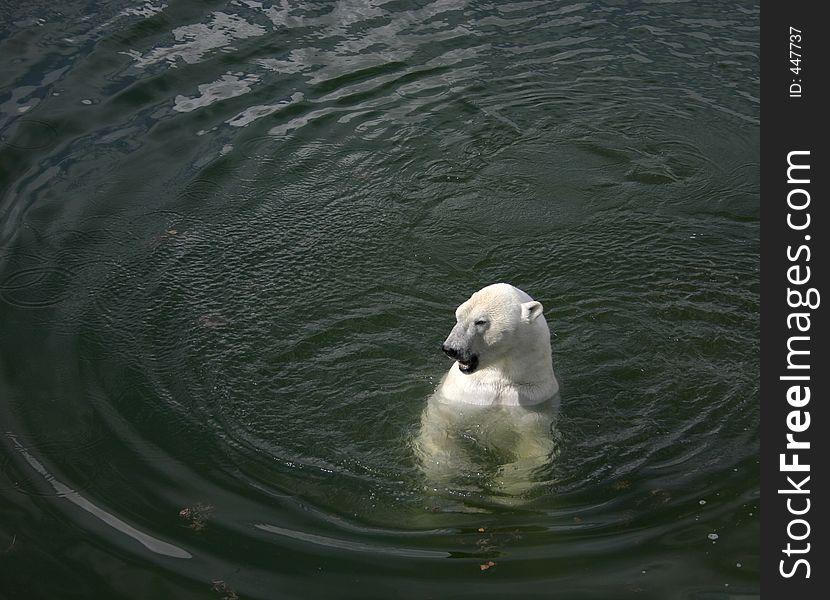 Polarbear on water