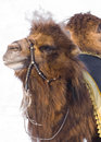 Free Camel Stock Images - 4400324