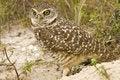 Free Burrowing Owl Watching Royalty Free Stock Photo - 4402415