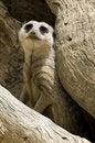 Free Meerkat Royalty Free Stock Photo - 4404965