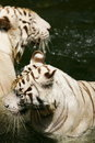 Free White Tiger Royalty Free Stock Photography - 4406537