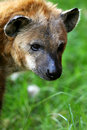 Free African Hyena Royalty Free Stock Photography - 4406917