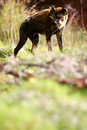 Free African Hyena Royalty Free Stock Photos - 4406948