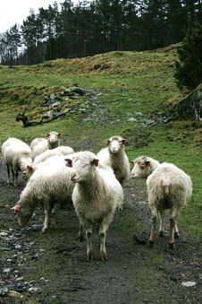 Free Sheep Royalty Free Stock Photo - 4400285