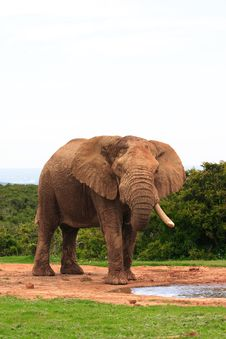 Free Elephant Bull (Loxodonta Africana) Royalty Free Stock Photos - 4400898