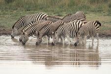 Free Burchells Zebra (Equus Burchelli) Royalty Free Stock Photography - 4400987