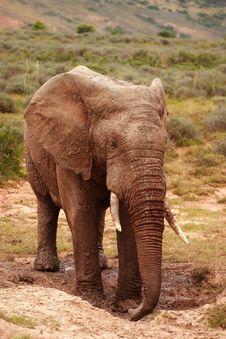Free Elephant Bull (Loxodonta Africana) Stock Image - 4401151
