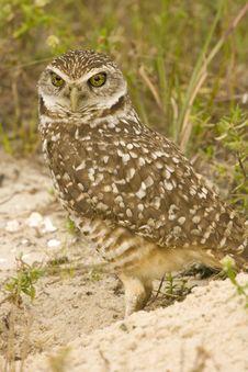 Free Burrowing Owl Watching Stock Photos - 4402453