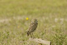 Free Burrowing Owl Perched Stock Photos - 4402463