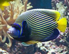 Emperor Angelfish 2 Stock Image