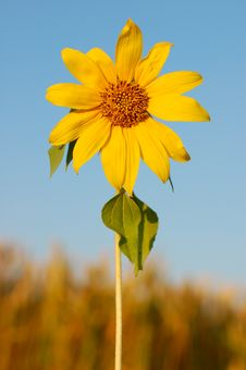 Free Sunflower Royalty Free Stock Images - 4402989