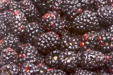 Free Macro Blackberries With Water Drops Stock Photos - 4404783