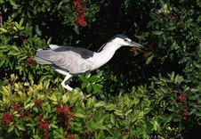 Free Black Crowned Night Heron Royalty Free Stock Photography - 4404957
