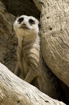 Free Meerkat Royalty Free Stock Photo - 4404965