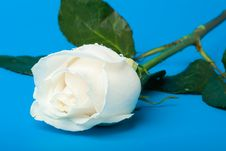 Free Wet White Rose On Blue Stock Photo - 4406060