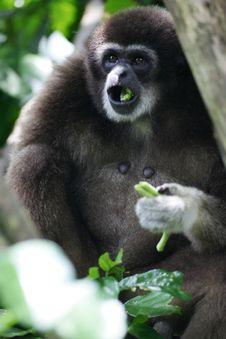 Free White Handed Gibbon Stock Photo - 4406330