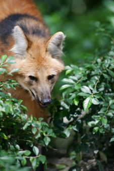 Free Maned Wolf Stock Photography - 4406412