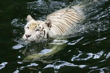 Free White Tiger Royalty Free Stock Photography - 4406587