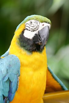 Free Blue & Yellow Macaw Royalty Free Stock Images - 4406689