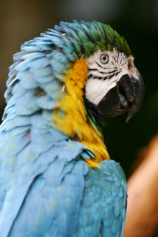 Free Blue & Yellow Macaw Stock Images - 4406734
