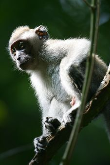 Free Macaque Monkey Royalty Free Stock Photos - 4406798