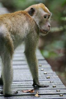 Free Macaque Monkey Stock Photos - 4406803