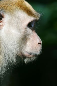 Free Macaque Monkey Stock Images - 4406804