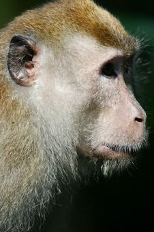 Free Macaque Monkey Royalty Free Stock Photos - 4406808